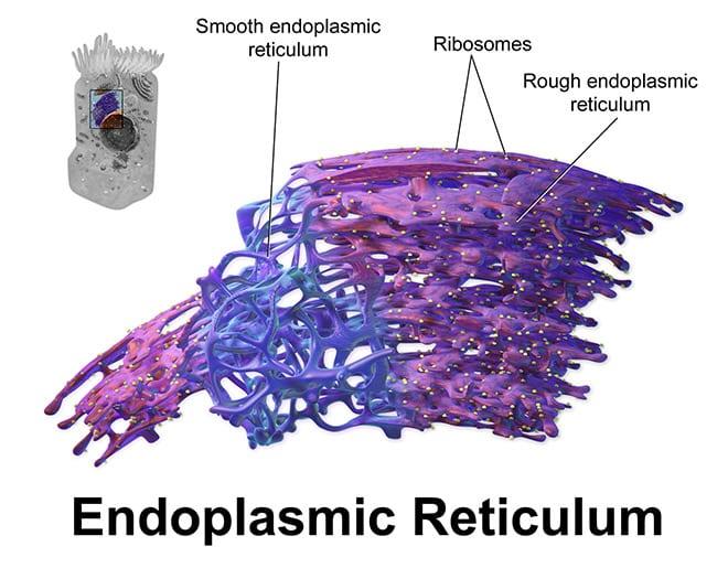 cáncer: retículo endoplasmático