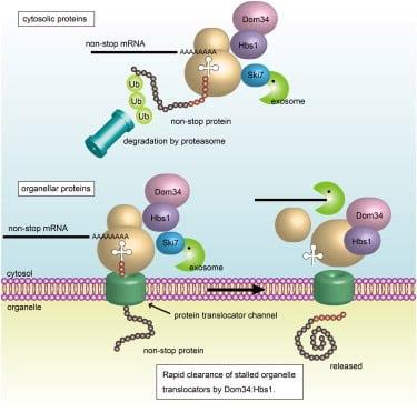 Dom 34 proteina