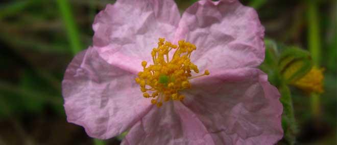 Flores de Bach, terapia floral