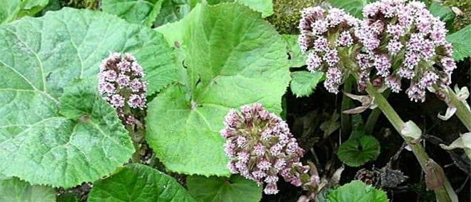 Alergias petasites hybridus