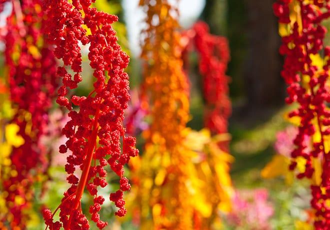 quinoa. Arbol
